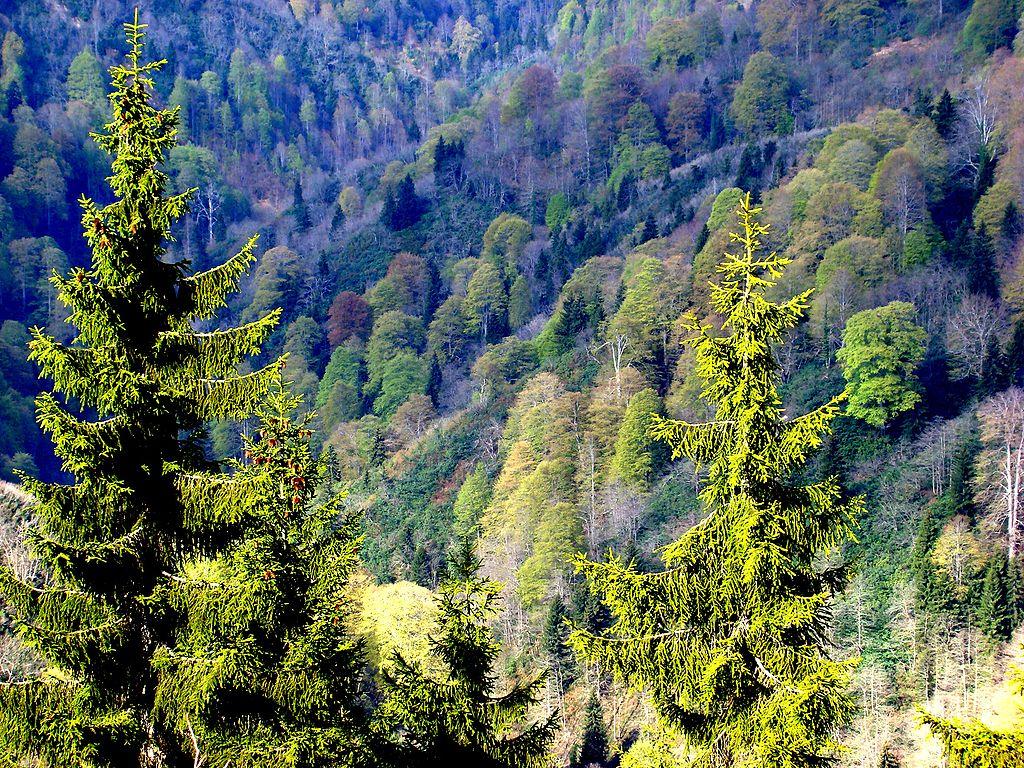 (Görsel:Doğu Karadeniz ormanları)