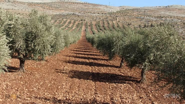 Türkiye Afrin'den zeytin getiriyor
